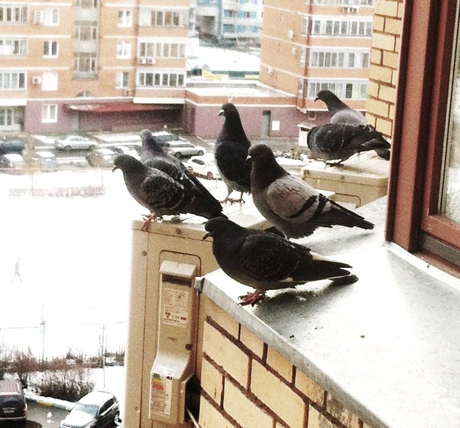 Отпугивание голубей с балкона. - фото отчет - каталог статей.
